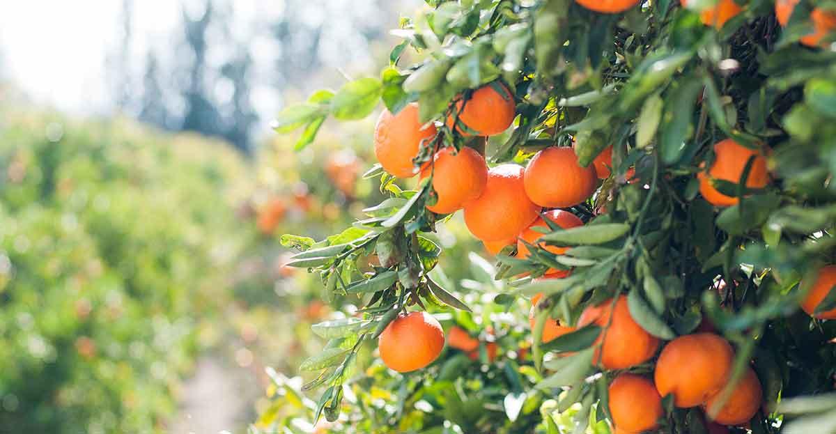 Vender naranjas por Internet: del árbol a casa en 24 horas