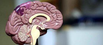 Hay relación entre el tamaño del cerebro y la inteligencia