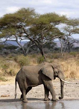 Elefante en safari