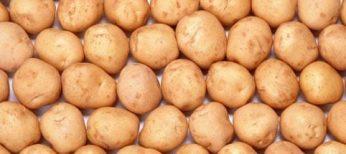 patata-transgenica
