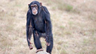 el mono viene de asia no de africa