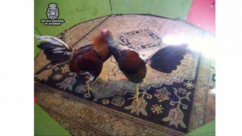 Detienen una pelea de gallos en la que se dopaba a los animales para que fuesen más agresivos y aguantasen más