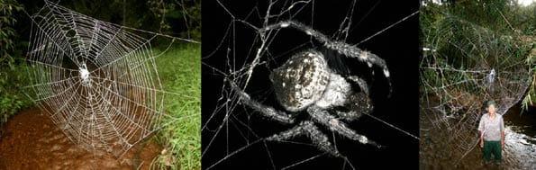 Araña de Madagascar que teje en círculos.