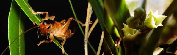 Grillo que poliniza las orquideas, de Islas Reunión.