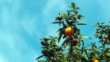 Las plantaciones de naranjas y limones son ideales para el medio ambiente al absorber el CO2