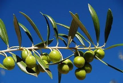Rama de olivo.
