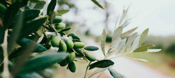 Hojas de olivo contra la leucemia