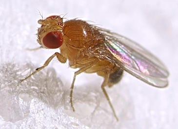 Las moscas ahogan sus penas en alcohol si no tienen sexo