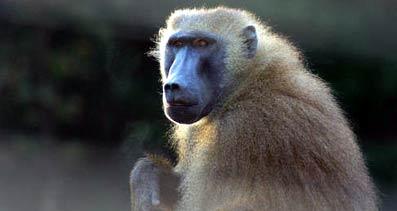 Mono babuíno.