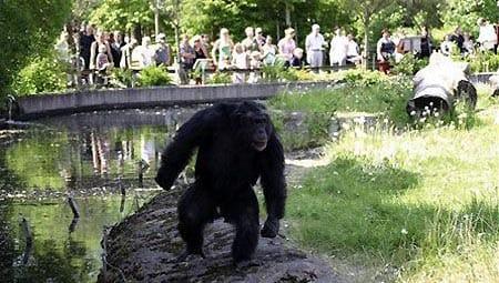 El célebre chimpancé Santino del zoo sueco de Furuvik.