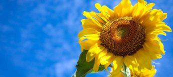 ¿Por qué las plantas siguen al Sol?