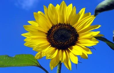 Un girasol, caracterizado por seguir la luz del Sol.