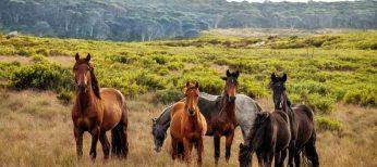 Los caballos domésticos proceden de Ucrania