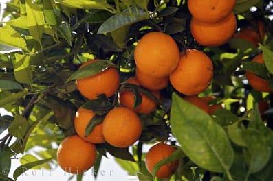Naranjo en Valencia, España.