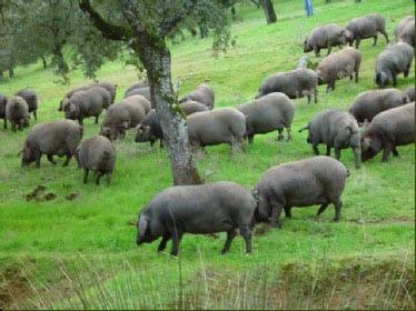 Cerdos ibéricos pastan en una dehesa.