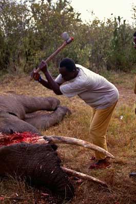 Un cazador furtivo quita los colmillos a un elefante muerto.