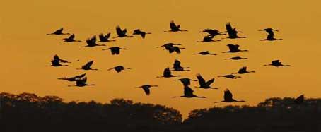Grullas sobrevuelan la región de Cáceres, paraíso del turismo ornitológico.