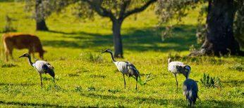 La grulla en Cáceres, paraíso del turismo ornitológico
