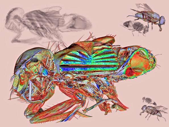 Imagen de una mosca por dentro.