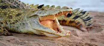 Los cocodrilos renuevan los dientes 50 veces