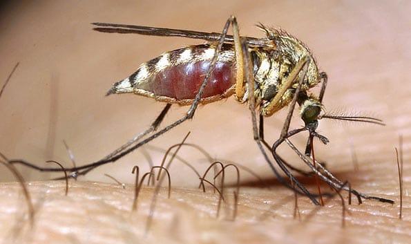 Olor humano, manjar de mosquitos
