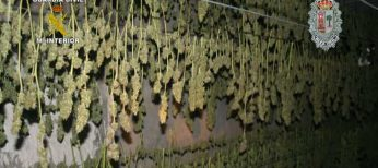 Cogollos secándose de la mayor plantación de marihuana de España.