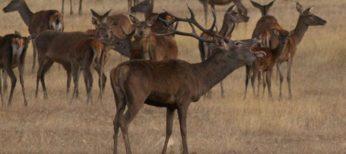La berrea de los ciervos, típica en Extremadura.