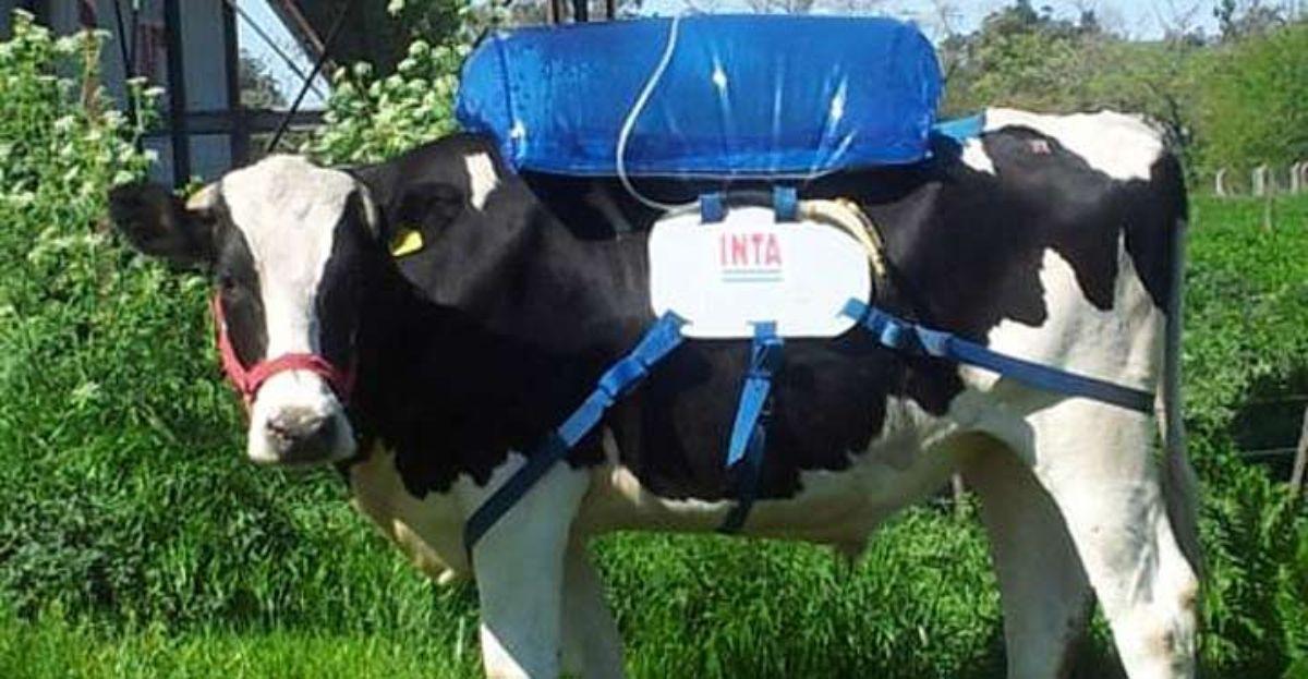 Las vacas emiten muchos gases que pueden emplearse como combustible para coches.