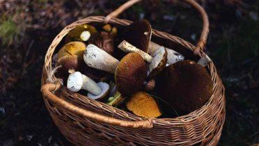 10 setas comestibles en España, licencias obligatorias y cómo recogerlas